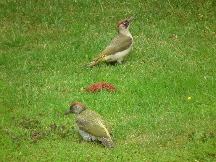 A mother and juvenile Green Woodpecker visiting the garden