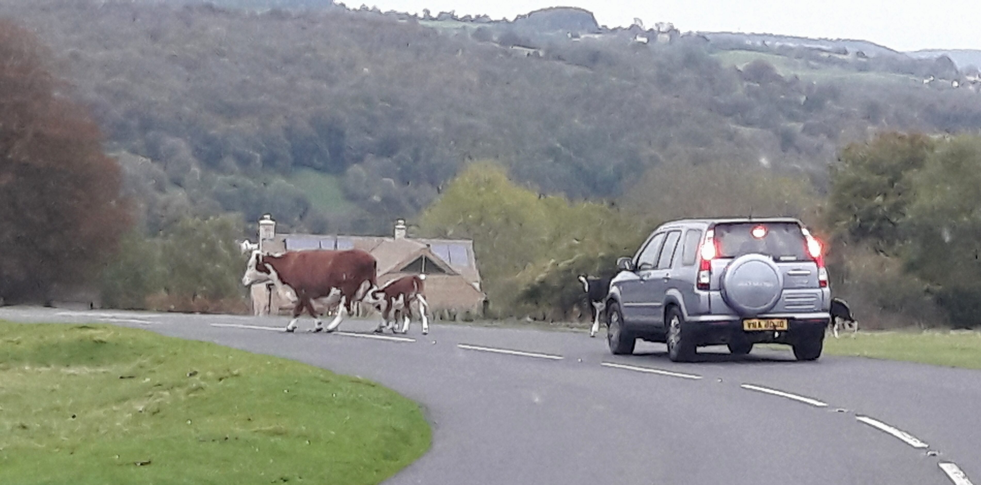 Cows roaming free on beautiful Minchinhampton Common