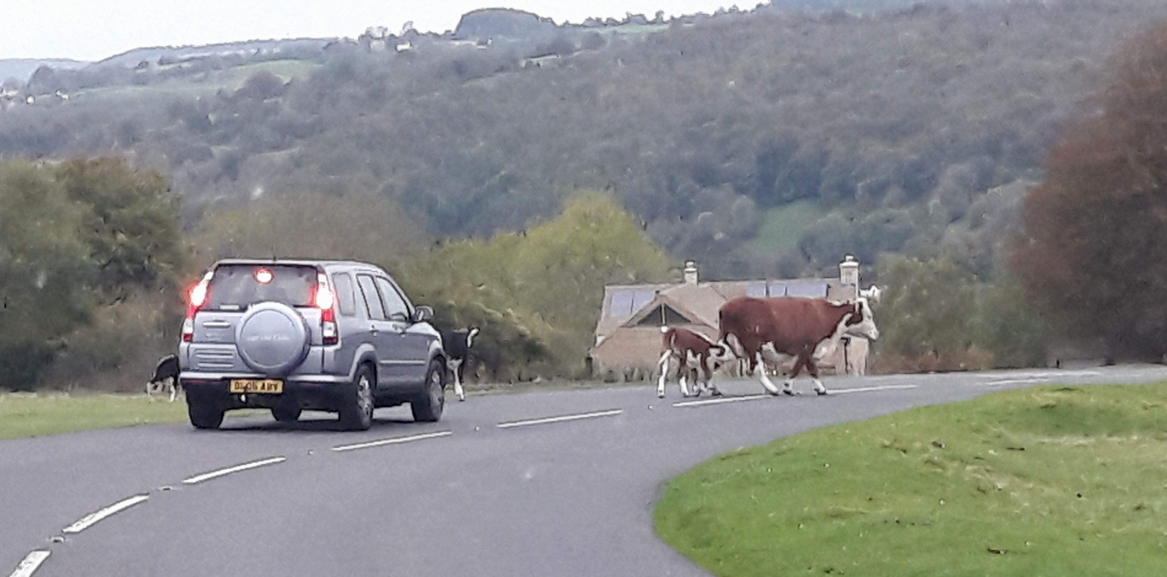Cows roaming free on beautiful Minchinhampton Common
